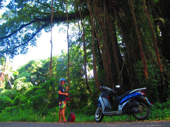 banyan tree in vanuatu