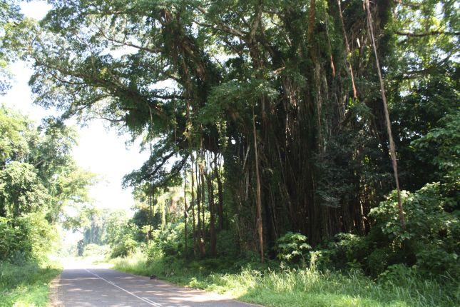 banyan trees vanuatu