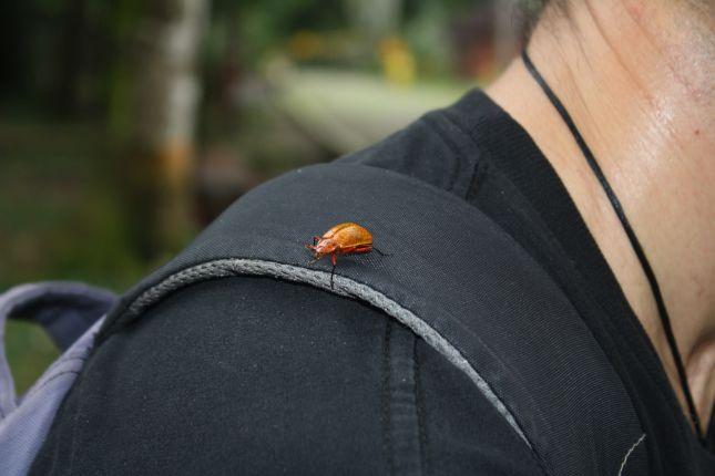 beetle-inti-wara-yassi-2.JPG