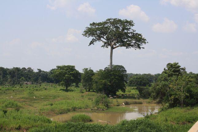 careiro-manaus-tree-2.JPG