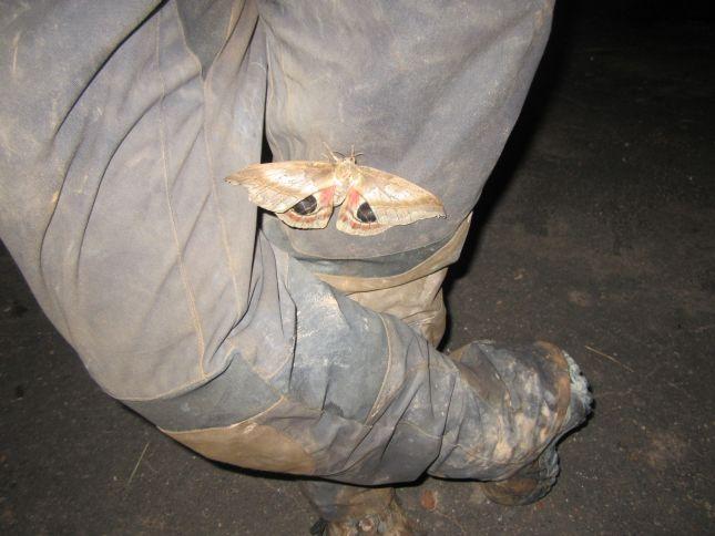 night-time-visitor-moth.JPG