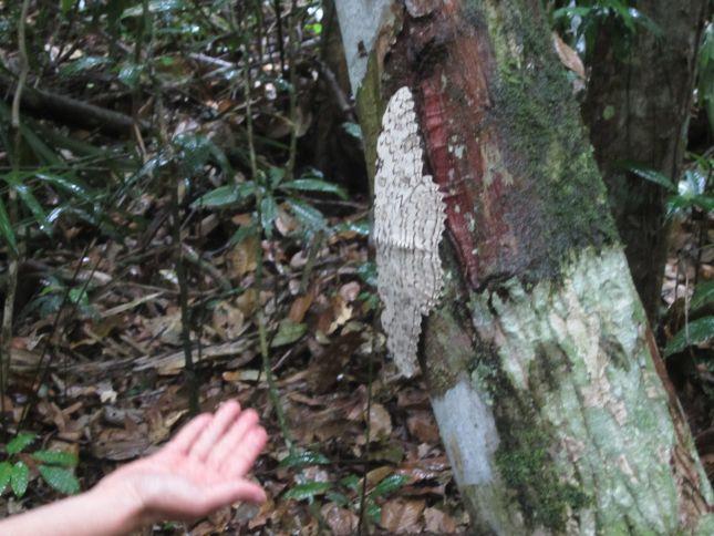 predidente-figueiredo-huge-moth.JPG