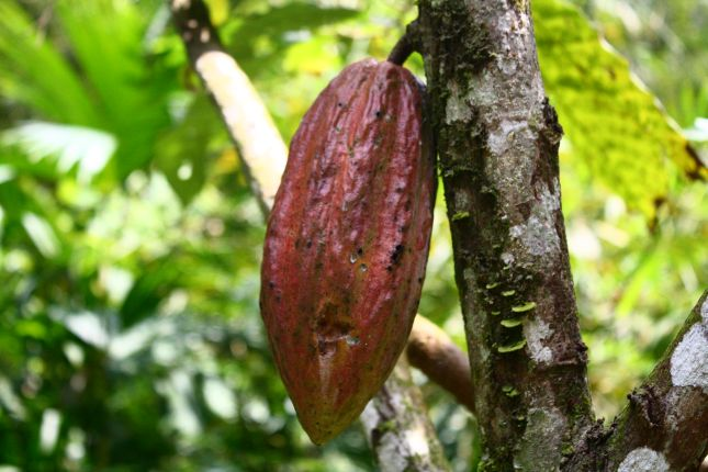 chez-gloria-cacao-tree.JPG