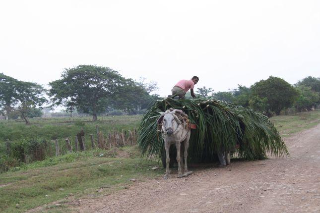 mompox-sangil-palm-harvest.JPG