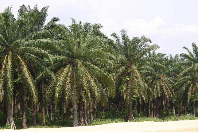 mompox-sangil-palm-plantation.JPG